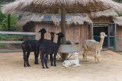 alpacas Imágenes de archivo libres de regalías