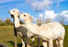 Alpacas against a blue sky. Two Alpacas against a blue sky. An alpaca resembles a small llama in appearance and their wool is used for making knitted and woven Royalty Free Stock Photo