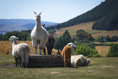 Alpacas in Alpaca farm. In New Zealand Royalty Free Stock Photo