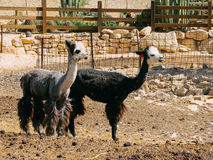 Alpacas in the alpaca farm. The photo is shot in the alpaca farms in Mistspe Ramon, Israel. The farm is in middle of desert in the countryside. The founders of Stock Photography