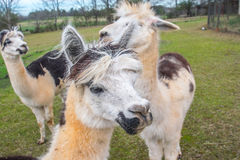 Alpacas in Amerika Stock Afbeelding