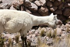 Alpacas in Andes Royalty Free Stock Photography