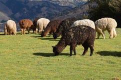 Alpacas av Cusco Royaltyfri Fotografi