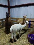 Alpacas bij de Markt van de Provincie stock afbeeldingen