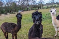 Alpacas bij Play2 Stock Afbeelding