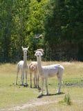 Alpacas blancas Foto de archivo libre de regalías