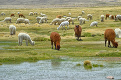 Alpacas cattle eating in their natural state Royalty Free Stock Images
