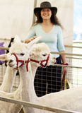 Alpacas and country girl. On showgrounds stock photos