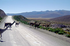 Alpacas crossing Andean road. Across the high Andean plateau, the altiplano Royalty Free Stock Images