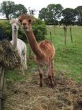 Alpacas. Curious alpacas in Cumbria stock photography
