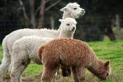 Alpacas, das 1 speist Stockfotografie