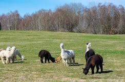 Alpacas in de weide royalty-vrije stock afbeelding