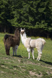 Alpacas della lama Fotografie Stock Libere da Diritti