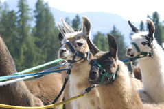 Alpacas della lama Immagine Stock