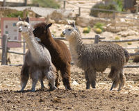 Alpacas do adulto da árvore Foto de Stock Royalty Free