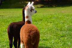 Alpacas do bebê no prado Foto de Stock
