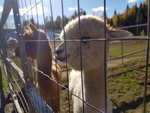 Alpacas do Peru Imagens de Stock