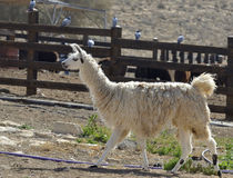 Alpacas domestic cloven-hoofed animals. Farm breeding alpacas in the Negev desert Royalty Free Stock Photography