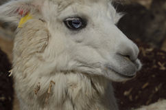 Alpacas domestic cloven-hoofed animals. Farm breeding alpacas in the Negev desert Stock Photos
