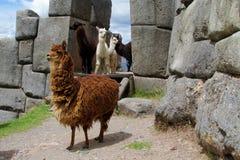 Alpacas domesticadas peludas de Brown entre ruinas de los incas en Perú Imagen de archivo libre de regalías