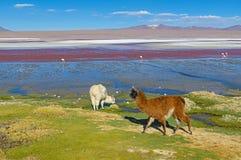 Alpacas door Laguna Colorada, Bolivië royalty-vrije stock foto