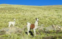Alpacas en campo verde Imagen de archivo