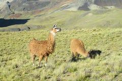 Alpacas en campo verde Imagen de archivo libre de regalías