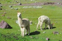 Alpacas en campo verde en los Andes Foto de archivo libre de regalías