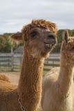Alpacas en el viñedo Fotos de archivo libres de regalías
