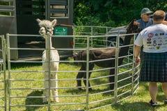 Alpacas en la exhibición Fotos de archivo libres de regalías