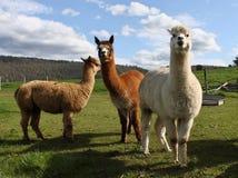 Alpacas en landbouwbedrijf Stock Foto