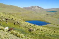 Alpacas en prado verde de la montaña cerca del lago azul Foto de archivo
