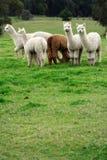 Alpacas en un campo Foto de archivo libre de regalías