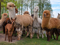 Alpacas family with small baby pastures on green grass by the la. Ke near forest at summertime Stock Photography