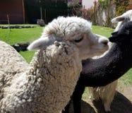 Alpacas in a farm in Peru. South America stock photo