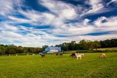 Alpacas on a farm in rural York County, Pennsylvania. Royalty Free Stock Image