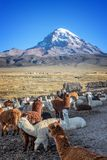 Alpacas farm, Sajama volcano in the background, Bolivia. Alpacas farm, Sajama volcano in the background, in Bolivia stock photos