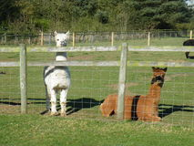 Alpacas on a farm. Vicugna pacos. Royalty Free Stock Photo