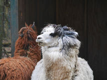Alpacas in Farmyard Royalty Free Stock Photo