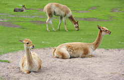 Alpacas in a field Royalty Free Stock Image