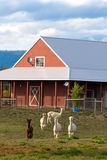Alpacas grazing on the farm. Royalty Free Stock Photos