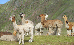 Alpacas on green meadow in Andes Stock Image