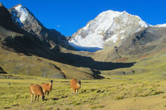 Alpacas on green meadow in Andes snow caped mountains Stock Photo