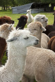 Alpacas Stock Photography