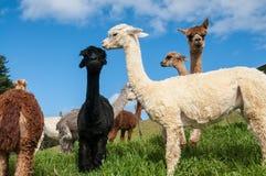 Alpacas Stock Photography