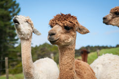 Alpacas Royalty Free Stock Photo