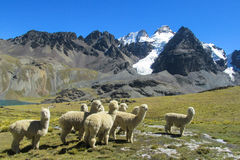 Alpacas herd in the snowcaped mountains. In Argentina, Peru, Bolivia Royalty Free Stock Image