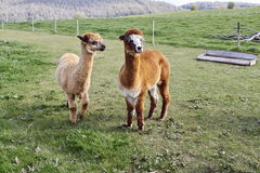 Alpacas in het landbouwbedrijf stock afbeelding