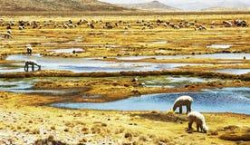 Alpacas Hirten im Peru Stockbilder