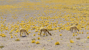 Alpacas i de Andean högländerna Fotografering för Bildbyråer